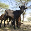 Goats are common assets amongst the pastoralists